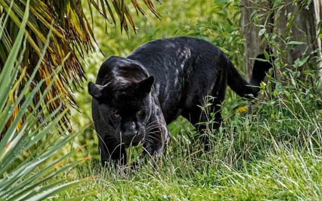 豹,看起来,野猫,捕食者,黑色捷豹