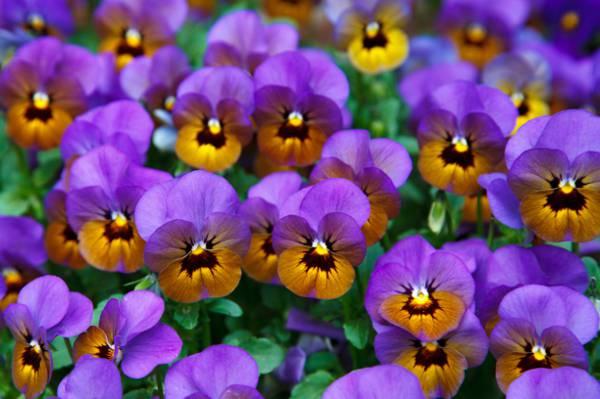 紫色和棕色三色堇花朵高清壁纸