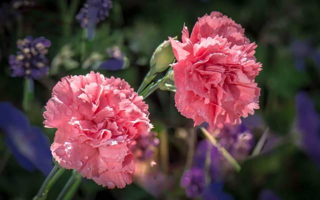 芽,宏,性质,水,花瓣,康乃馨,罗莎,滴