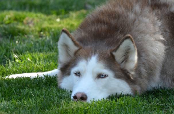 狗,耳朵,脸,沙哑