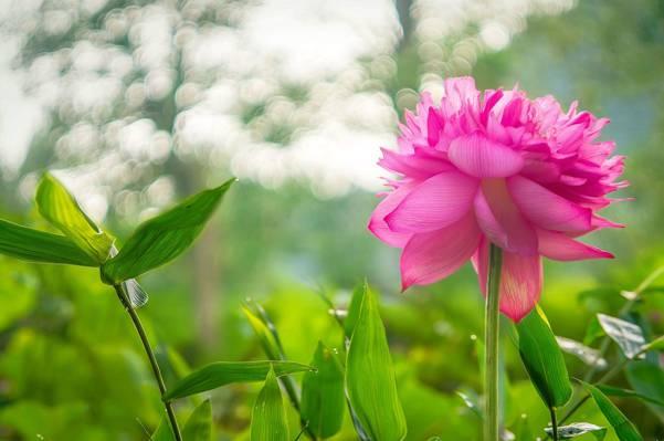 叶子,植物,眩光,莲花,花,粉红色