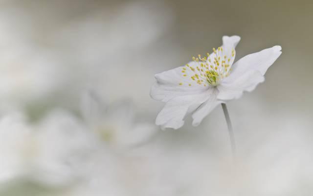 白色,背景,花,海葵
