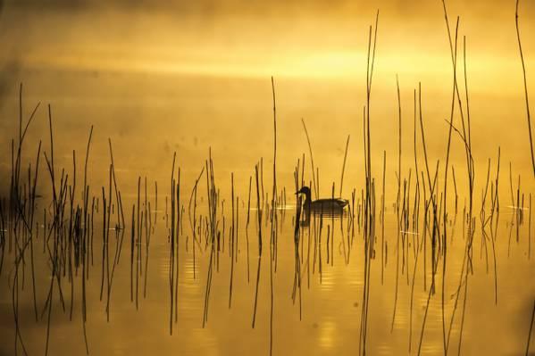 鸭,湖,早晨,雾