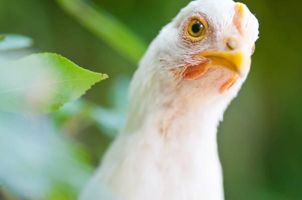 白色的鸡高清壁纸特写照片
