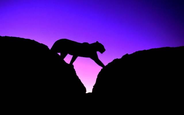 猫,豹,剪影,黑豹,天空,日落