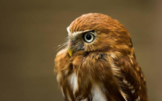 猫头鹰,背景,鸟