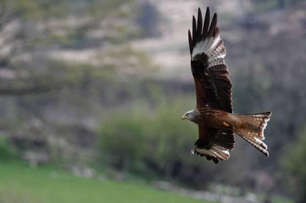 棕色和白色鹰飞行,红色风筝高清壁纸