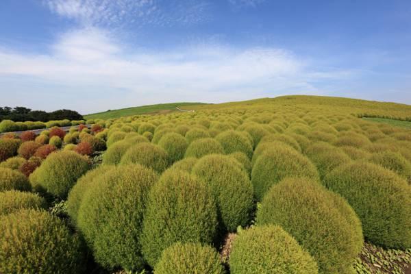 绿色灌木下蓝蓝的天空和洁白的云朵,kochia scoparia高清壁纸