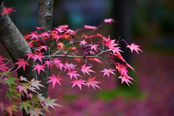 唯美的红枫图片