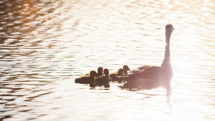 鸭和幼体在湖高清壁纸
