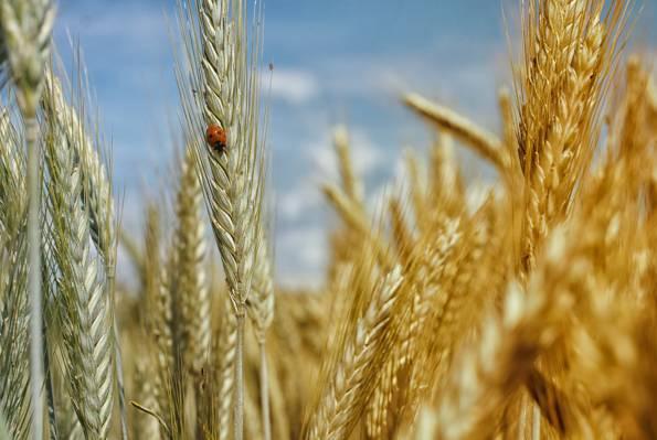 小麦与小虫的高清壁纸