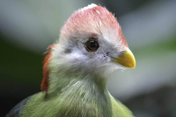 白色和绿色的鸟,turaco高清壁纸的浅摄影