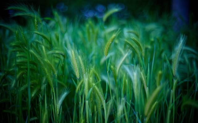 小麦高清壁纸的风景摄影