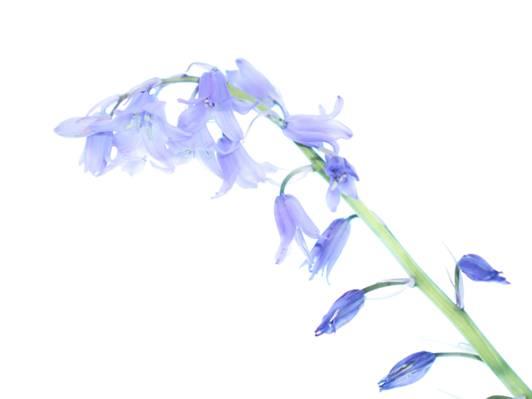 蓝色的花白色背景上的特写镜头摄影高清壁纸