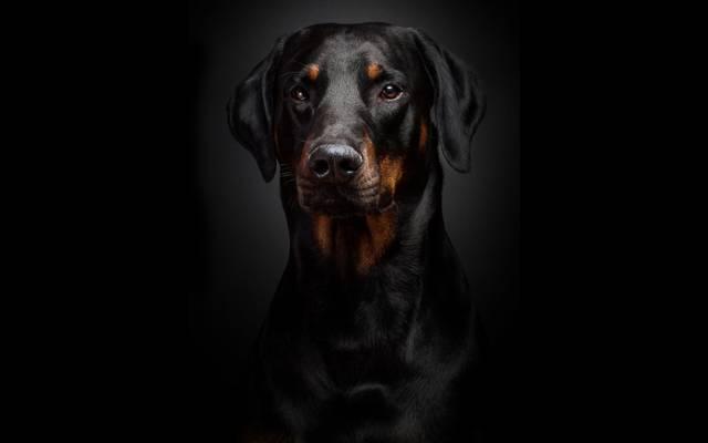 肖像,杜宾,背景,黑色