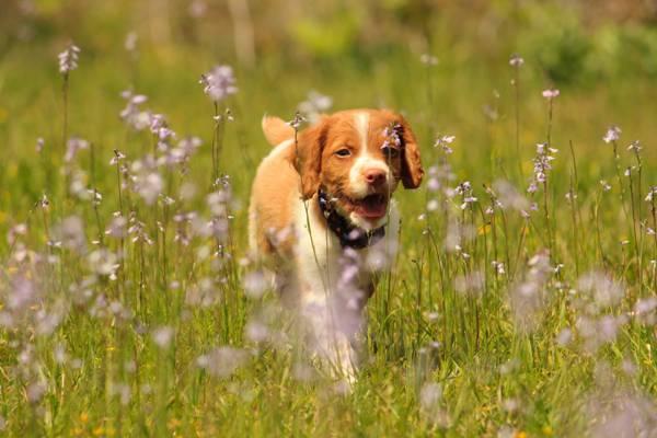 狗,鲜花,小狗,步行,指点狗,Epagneul布列塔尼,布列塔尼,草地