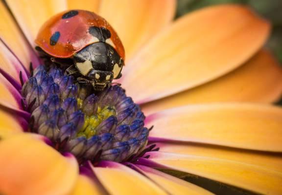 花,花瓣,瓢虫,昆虫