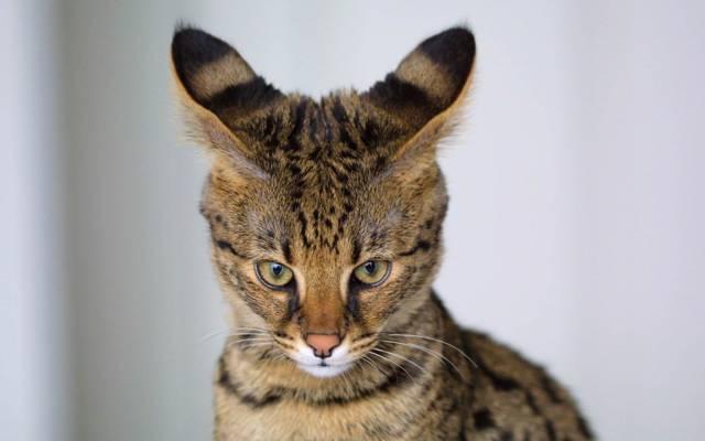 Ser猫,查看,耳朵,背景