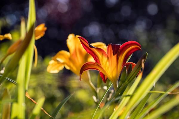 焦点摄影的黄色和红色的花朵高清壁纸