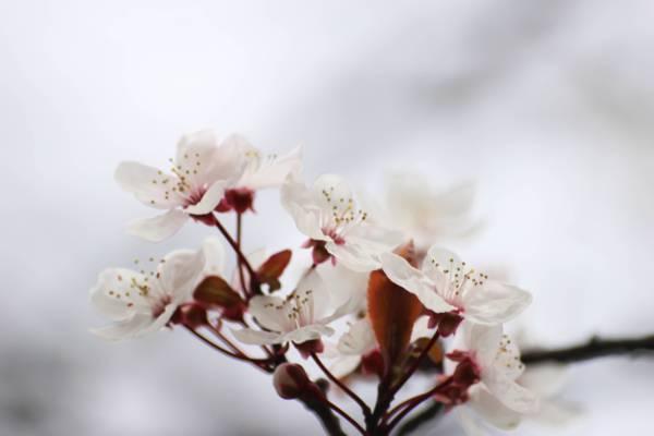 白色的选择性焦点照片樱花花高清壁纸