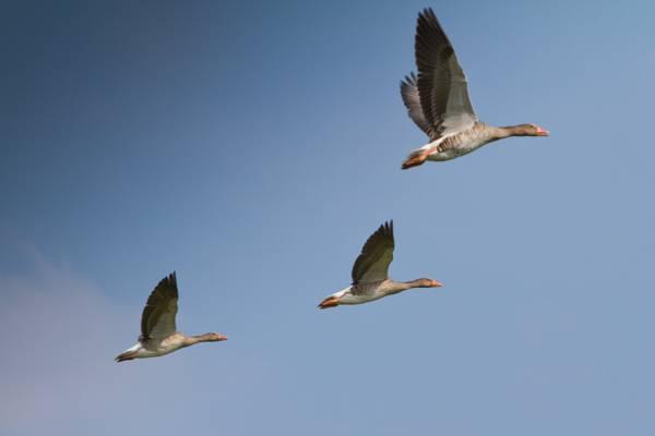 三只黑鸟在白天高清壁纸飞行
