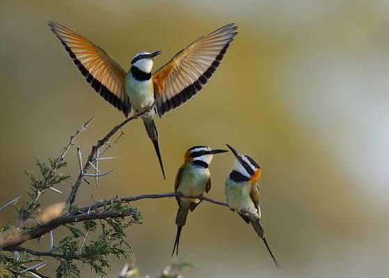 三只鸟的选择性重点摄影,肯尼亚高清壁纸