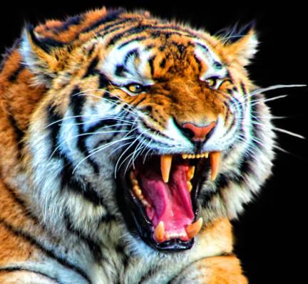 棕色的老虎在黑色的背景高清壁纸