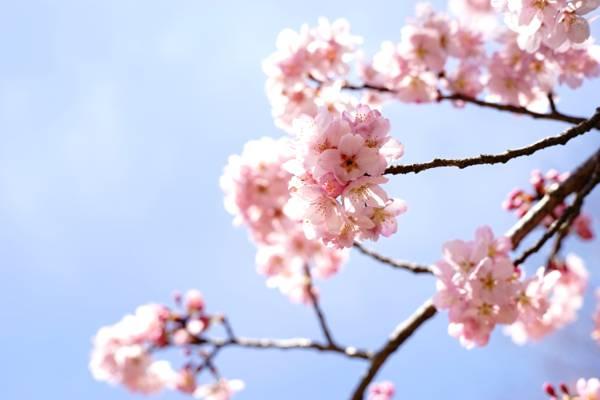 关闭粉红色的樱花在白天高清壁纸的焦点照片