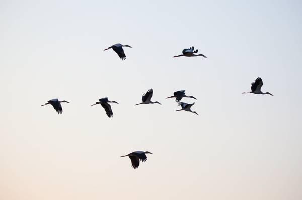 群飞行在蓝蓝的天空下高清壁纸的鸟