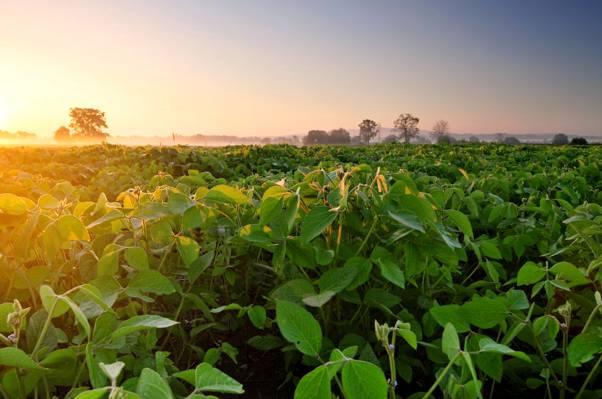 雾,黎明,早晨,大豆,种植园,田地,大豆