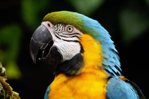 蓝宝石金刚鹦鹉鹦鹉照片,鹦鹉高清壁纸