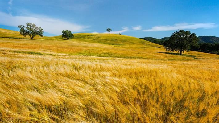 白天干草领域,小麦高清壁纸