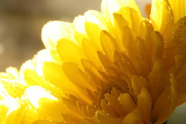 黄色petaled花HD wallpaper特写镜头摄影
