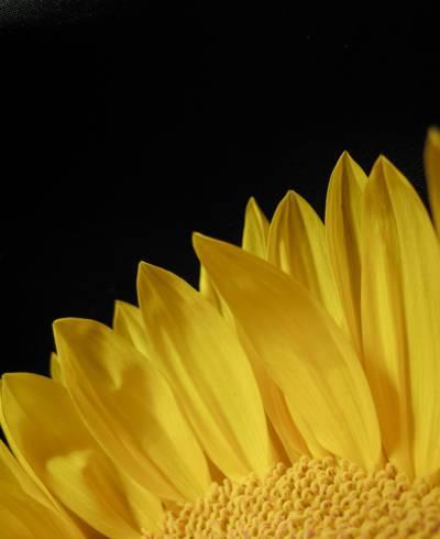 黄色花瓣与黑色背景高清壁纸