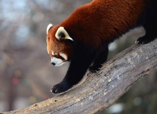 背景,红熊猫,firefox,树