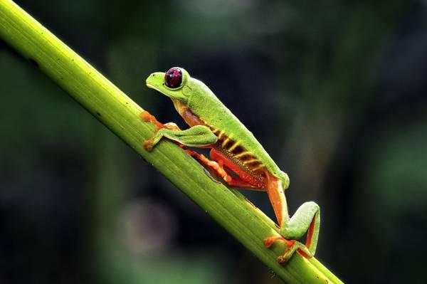 选择性摄影的绿色的青蛙绿枝,红眼树蛙高清壁纸