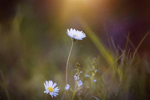 白色雏菊花盛开在白天高清壁纸