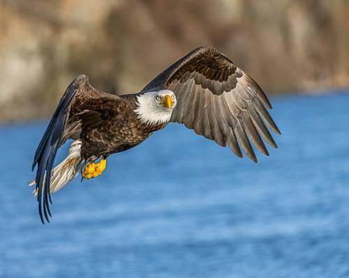在白天高清壁纸水面上飞行的秃头鹰