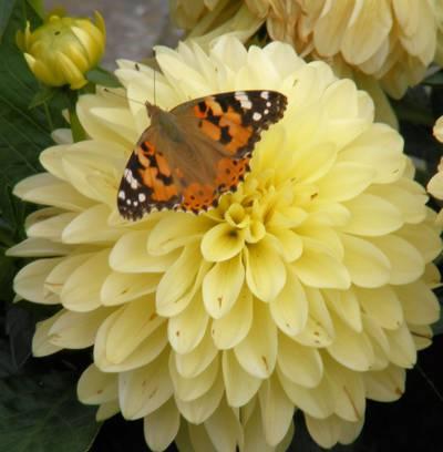 在白天高清壁纸画的黄色大丽花花夫人蝴蝶