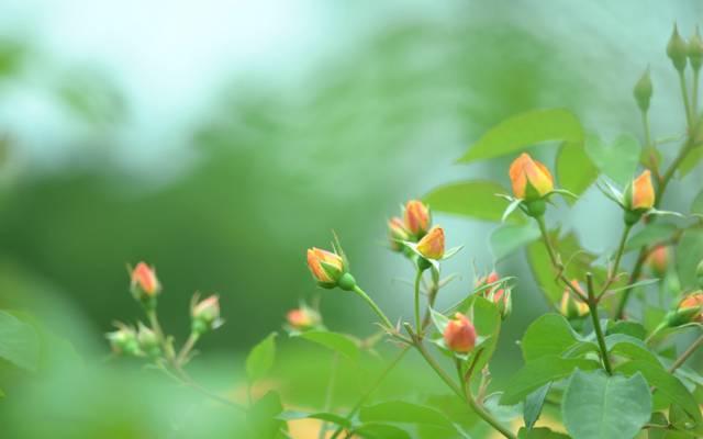 宏,绿色,橙色,性质,玫瑰,颜色,模糊,绿党,布什,芽