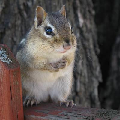 灰松鼠,花栗鼠高清壁纸