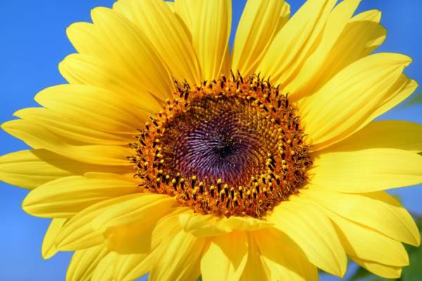 黄色向日葵高清壁纸特写照片