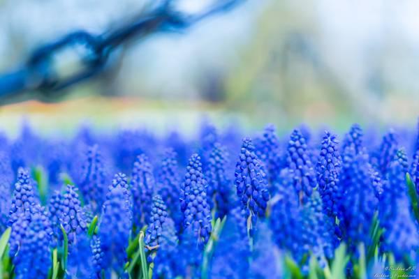 浅焦点摄影的蓝色薰衣草高清壁纸