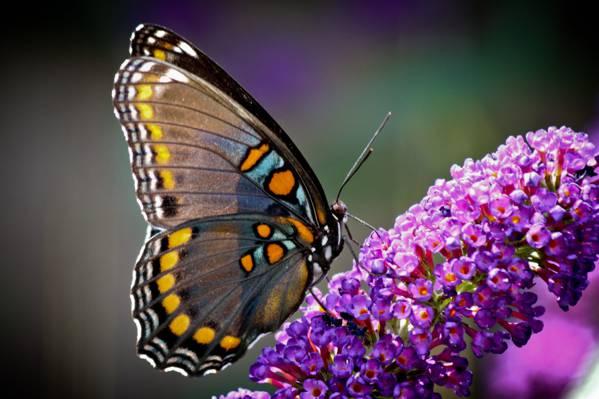 特写照片的彩绘的夫人蝴蝶紫色豹花高清壁纸