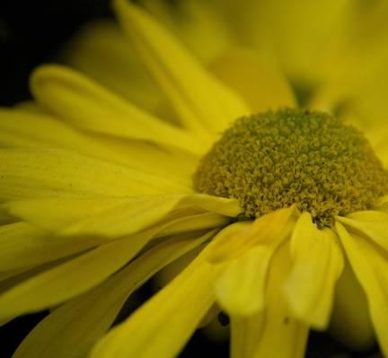 开花的黄色雏菊选择聚焦摄影高清壁纸