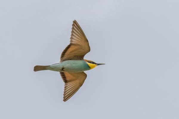 飞行,黄金食蜂鸟,天空,翅膀
