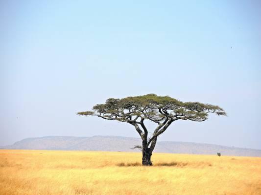 在草地,坦桑尼亚,塞伦盖蒂国家公园高清壁纸绿色的叶子树