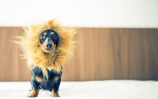狗,看,狮子座,每个
