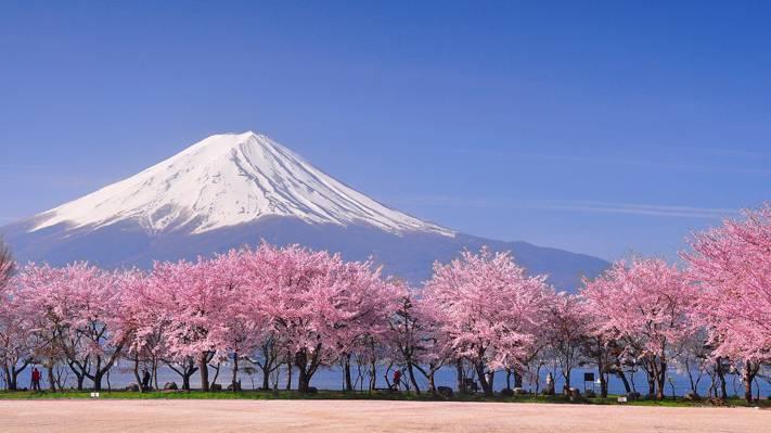 富士山下盛开的樱花树