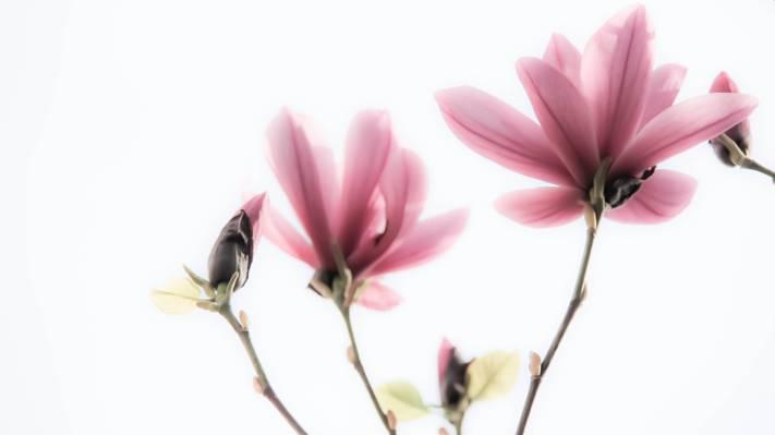 紫色群花,玉兰花高清壁纸